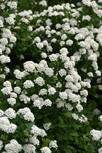 Load image into Gallery viewer, White Frost™ Spirea flowers