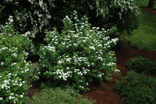 Load image into Gallery viewer, White Frost™ Spirea in bloom