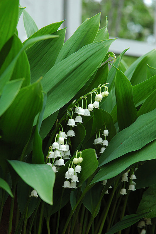 Lily-Of-The-Valley flowers