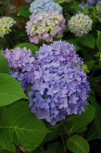 Load image into Gallery viewer, Endless Summer® Hydrangea flowers