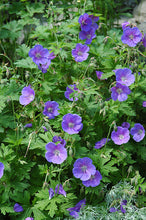 Load image into Gallery viewer, Johnson's Blue Cranesbill flowers