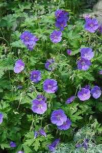 Johnson's Blue Cranesbill flowers