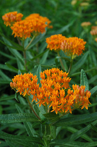 Butterfly Weed flowers