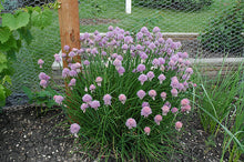 Load image into Gallery viewer, Chives in bloom