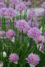 Load image into Gallery viewer, Chives flowers