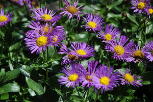 Darkest Of All Fleabane flowers