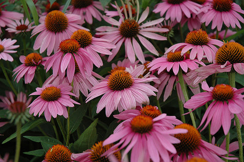 Magnus Coneflower flowers