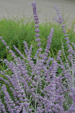 Load image into Gallery viewer, Russian Sage flowers