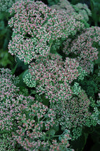 Load image into Gallery viewer, Autumn Joy Stonecrop flowers