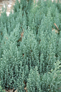 Blue Forest Juniper foliage