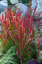 Load image into Gallery viewer, Red Baron Japanese Blood Grass