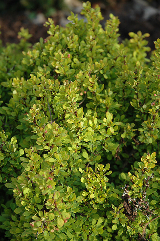 Golden Nugget Japanese Barberry foliage