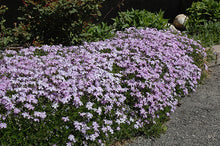 Load image into Gallery viewer, Emerald Blue Moss Phlox in bloom