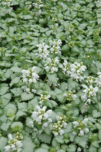 Load image into Gallery viewer, White Nancy Spotted Dead Nettle flowers