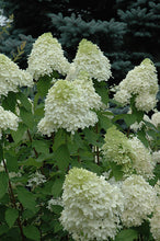 Load image into Gallery viewer, Limelight Hydrangea flowers