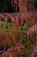 Load image into Gallery viewer, Tiger Eyes® Sumac in fall