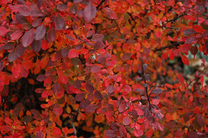 Rose Glow Japanese Barberry in fall