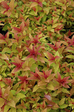 Load image into Gallery viewer, Goldflame Spirea foliage