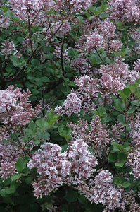 Dwarf Korean Lilac flowers