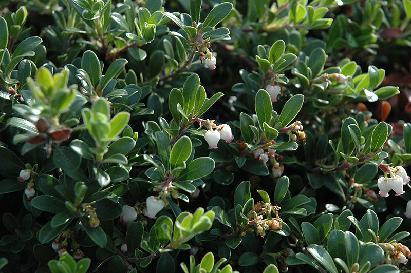 Massachusetts Bearberry flowers