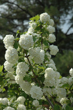 Load image into Gallery viewer, Snowball Viburnum flowers
