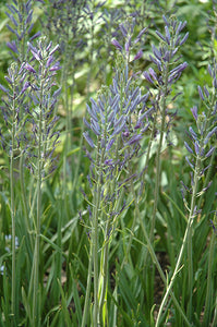 Blue Camassia flowers