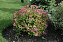 Load image into Gallery viewer, Goldflame Spirea in bloom