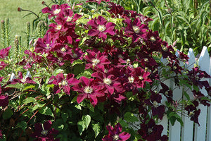 Warsaw Nike Clematis in bloom