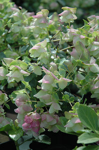 Kent Beauty Oregano flowers