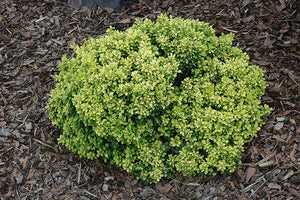 Golden Nugget Japanese Barberry