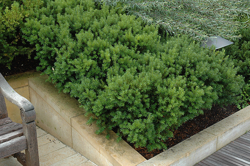 Dark Green Spreader Yew