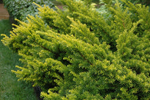Load image into Gallery viewer, Golden Japanese Yew foliage