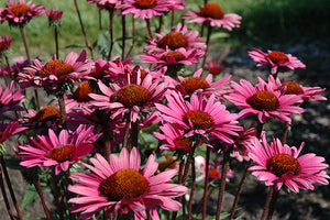 Fatal Attraction Coneflower flowers