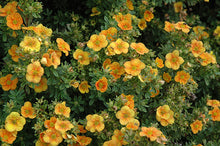 Load image into Gallery viewer, Mango Tango Potentilla flowers