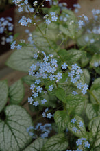 Load image into Gallery viewer, Jack Frost Bugloss flowers