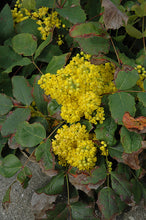 Load image into Gallery viewer, Creeping Mahonia flowers
