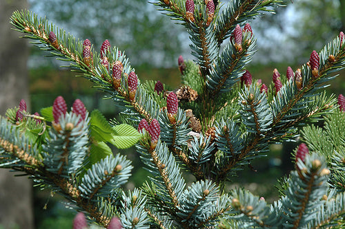 Howell's Dwarf Tigertail Spruce fruit
