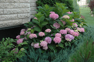 Endless Summer® Hydrangea in bloom