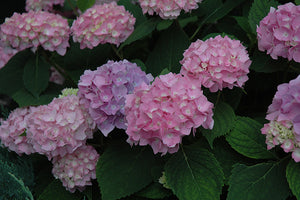 Endless Summer® Hydrangea flowers
