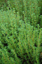 Load image into Gallery viewer, Common Thyme foliage