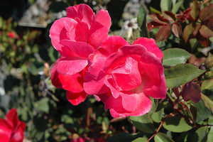 Pink Knock Out® Rose flowers