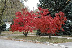 Flame Amur Maple in fall