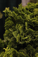 Load image into Gallery viewer, Dwarf Hinoki Falsecypress foliage