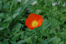 Load image into Gallery viewer, Champagne Bubbles Poppy flowers