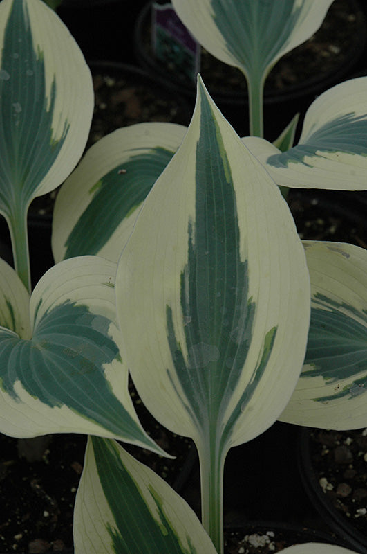 Blue Ivory Hosta foliage