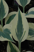 Load image into Gallery viewer, Blue Ivory Hosta foliage