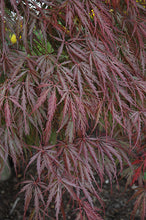 Load image into Gallery viewer, Tamukeyama Japanese Maple foliage