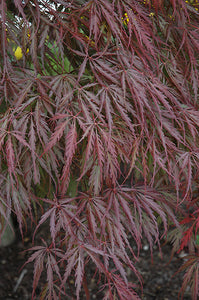 Tamukeyama Japanese Maple foliage