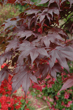 Load image into Gallery viewer, Bloodgood Japanese Maple foliage