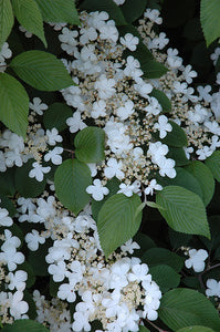 Maries Doublefile Viburnum flowers